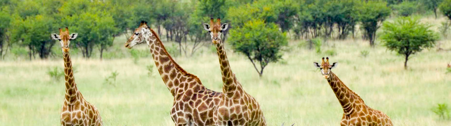 Experience South Africa with giraffes and other wildlife in stunning nature reserves